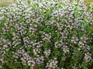 thyme-blooming